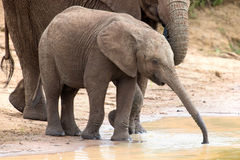 Elephant family drinking water to quench their thirst on very ho Royalty Free Stock Photography