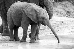 Elephant family drinking water to quench their thirst on very ho Stock Photo