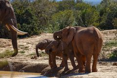 Elephant family drinking water together. At the dam Stock Photography