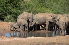 Elephant family drinking at a waterhole Royalty Free Stock Photography