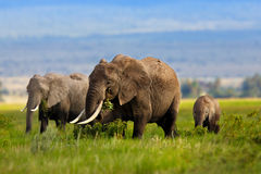 Elephant family eating grass. In the beautiful landscape of Amboseli National Park in Kenya stock photography