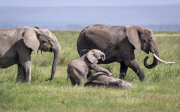 An elephant family is eating and playing Royalty Free Stock Images