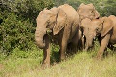 Elephant family eating Royalty Free Stock Photo