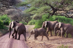 Elephant family. Family of elephants crossing the road Stock Photos