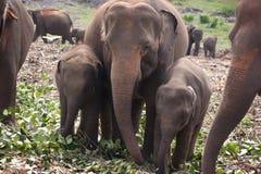 Elephant family. A family of elephants feeding in an elephant orphanage in Sri Lanka Royalty Free Stock Photos