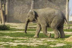 Elephant Family Royalty Free Stock Images