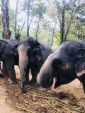 Elephant. Family elephants in sanctuary Stock Photography