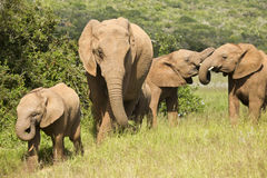 Elephant family fun. Elephant family walking on a path and having some fun stock photo