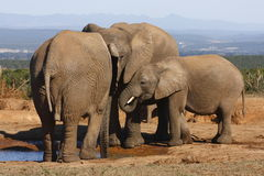 Elephant family gathering. At waterhole in summer royalty free stock photo