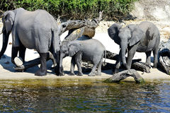 Elephant family gathering. At riverside in summer Stock Image