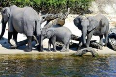 Elephant family gathering Stock Image