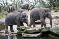 Elephant family goes to the watering hole in the forest of India. Royalty Free Stock Photography