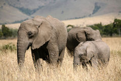 Elephant family in the grass Royalty Free Stock Photo