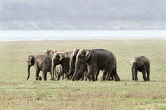 Elephant family in the grassland Stock Image