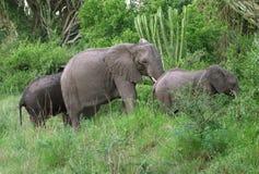 Elephant family in green vegetation Stock Image