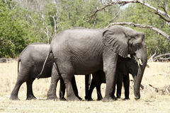 Elephant Family Group. Elephants are highly sociable animals, they allow their offspring to stay with them & they in turn help with new born calves Stock Images