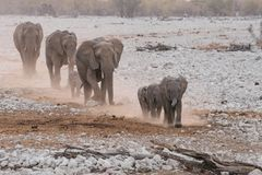 Elephant family group marching through desert. Elephant loxodonta family group herd marching through desert to waterhole Etosha National Park, Namibia stock photos