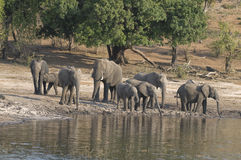 Elephant family having a cool drink. A Elephant family coming down to the Chobe River in the evening to have a cool drink of water Stock Photos