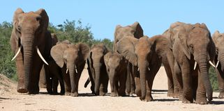 Elephant Family Herd Stock Photo