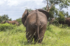 Elephant family hiding in shade, Kruger Park Royalty Free Stock Image