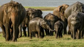 Elephant family with kids. Baby elephants in harmony, protected by giants family members stock image