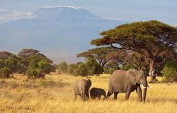 Elephant Family & Kilimanjaro. Elephants in front of mount Kilimanjaro. Amboseli National Park, Kenya Stock Photography