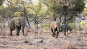 Elephant family in Kruger Stock Image