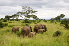 Elephant family in landscape. 2 adult elephants, 1 older cub, 2 young elephants walking away from the camera in a green bush/tree landscape Royalty Free Stock Photo