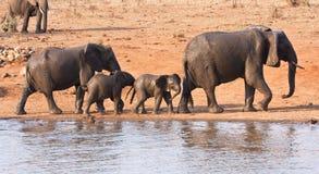 Elephant family leaving waterhole Royalty Free Stock Image