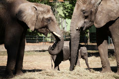 Elephant family. Lovely elephant family. Mother, father and son Royalty Free Stock Photo