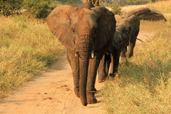 Elephant Family Marching. Elephant Family (Loxodonta Africana) Approacing, Tarangire National Park, Tanzania Stock Photos