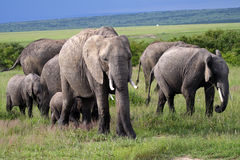 Elephant family, Masai Mara, Kenya Stock Photos