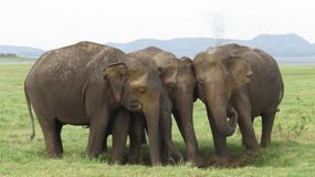 Elephant family members in Minneriya national park royalty free stock photo