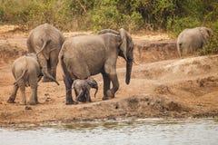 Elephant family. Near lake in Uganda Royalty Free Stock Photography