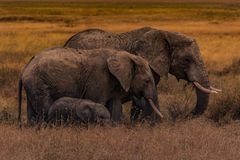 Elephant Family Of The Serengeti Plains Royalty Free Stock Images