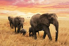 Elephant family on path in savanna in africa. Travel, wildlife and environment concept.  stock photo