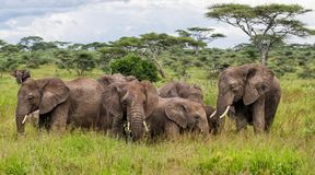 Elephant in Serengeti in Tanzania. Elephant family on the plains, with green grass in the rainy season, of the Serengeti National Park in Tanzania stock image