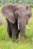Elephant in Serengeti in Tanzania royalty free stock images