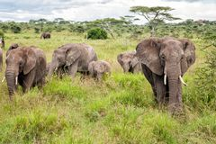Elephant in Serengeti in Tanzania stock images