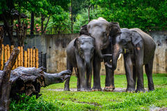 elephant family in the rain at the zoo, Myanmar, may-2017 royalty free stock images