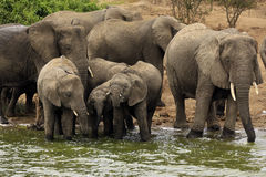 Elephant Family by River Stock Photography