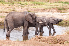 Elephant Family in the river Stock Photo