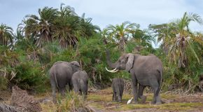 An elephant family in the savannah of Kenya. An elephant family walking in the savannah of Kenya, with palms Stock Photo
