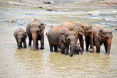Elephant Family in Sri Lanka Stock Image