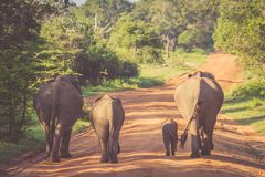 Elephant Family in Sri Lanka Game Park crossing street. elephant. Family on the move towards a water hole Royalty Free Stock Images