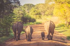 Elephant Family in Sri Lanka Game Park crossing street. elephant. Family on the move towards a water hole Stock Photo