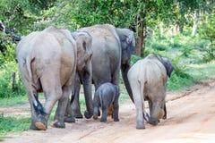 Elephant Family in Sri Lanka Game Park crossing street. elephant. Family on the move towards a water hole Royalty Free Stock Photos