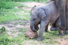 Elephant Family in Sri Lanka Game Park crossing street. elephant. Family on the move towards a water hole Stock Photos