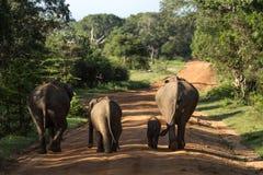 Elephant Family in Sri Lanka Game Park crossing street. elephant. Family on the move towards a water hole Royalty Free Stock Photo