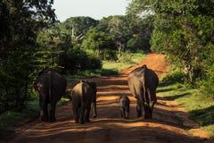 Elephant Family in Sri Lanka Game Park crossing street. elephant. Family on the move towards a water hole Stock Photography